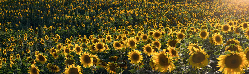 Panorama of sunflowers meadow from a field side, sunset, summer time.  Four shots. Summer evening. Altai region.