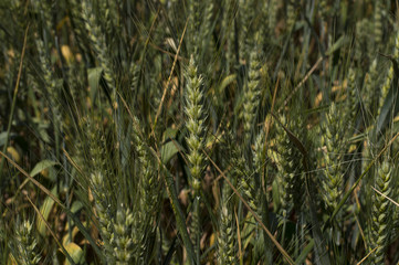 ears of a green wheat field close up
