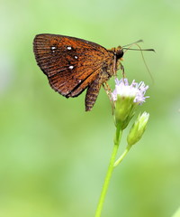 Small Branded Swift Butterfly Feeding on Wild Nectar