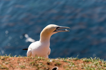 northern gannet at heligoland cliff