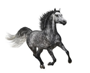 Fototapete - Dapple-grey horse in motion - isolated on white