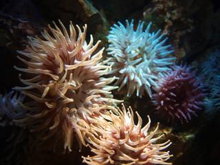 Koralle 04