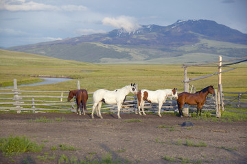 Arabian horses running in corral at Peggy Delaney's ranch in Centennial Valley, near Lakeview, MT