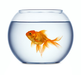 Goldfish in a fishbowl isolated on white background