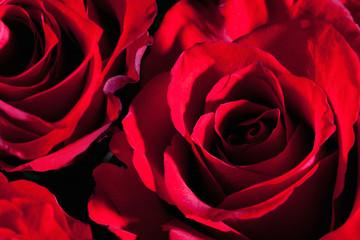 Rote osen (Rosa), closeup