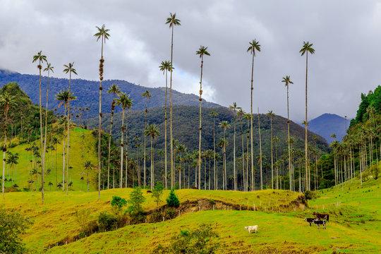Valée de Cocora , Salento Colombie