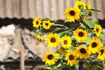 Sunflowers on rural background