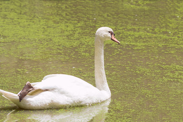 goose in pond