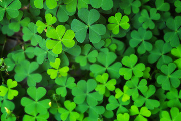 Closeup Green Clover Leaf for Background Uses.