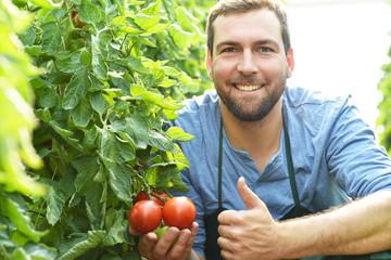 glücklicher Bauer zeigt seine reifen Tomaten im Gewächshaus // happy farmer with tomatoes in the greenhouse