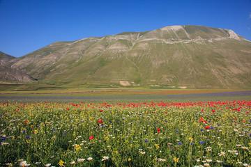 La fioritura di Castelluccio di Norcia, cielo azzurro