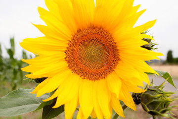 Standing tall sunflower with a bright yellow