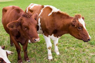 cows in the field in green meadow farm
