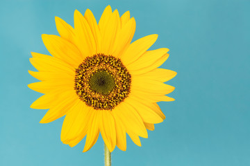 Blooming single sunflower on a blue background