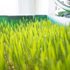 Wheatgrass growing
