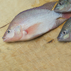 Aquaponics Tilapia ready to harvest