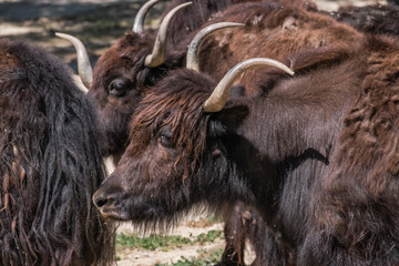 yak group of adults standing in the sun resting