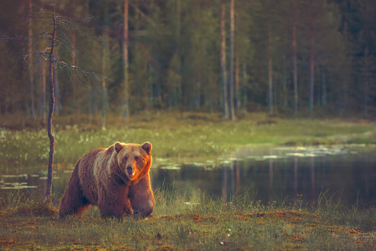 Big male bear walking in the bog at sunset