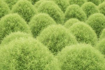 Kochia, bassia scoparia field in center focus
