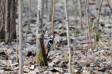White-backed Woodpecker in spring forest