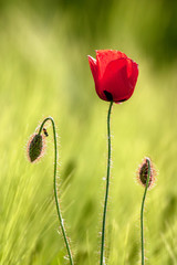 Red poppy flower with back light.