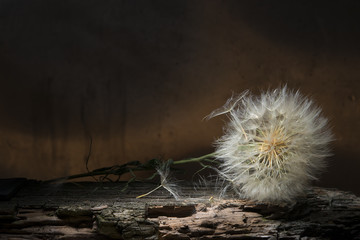 Still life. Dry dandelion lying on a tree bark.