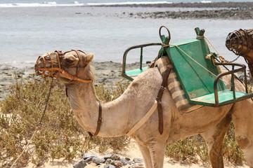 spain, fuerteventura. Dromedary Camels on the beach