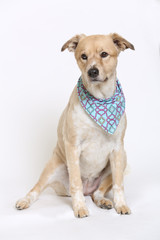 Cute Mixed Breed Dog with Summer Hair Cut wearing a blue bandana.