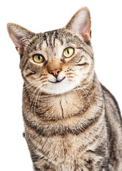 Happy Tabby Cat Looking Forward