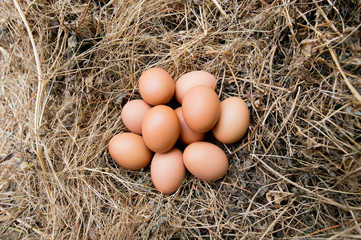 Chicken eggs in the grass dry