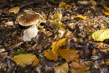 edible mushroom in forest