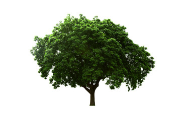 Old big tree isolated white background.