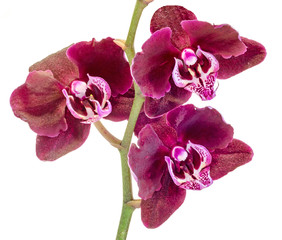Dark purple branch orchid  flowers, Orchidaceae, Phalaenopsis known as the Moth Orchid, abbreviated Phal