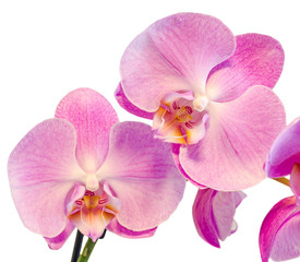 Purple, pink branch orchid  flowers, Orchidaceae, Phalaenopsis known as the Moth Orchid, abbreviated Phal