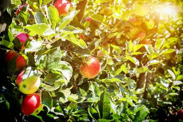 ripe summer  apples