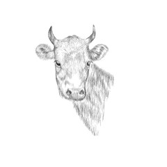 Sketch Head of a cow. Hand drawn vector illustration.