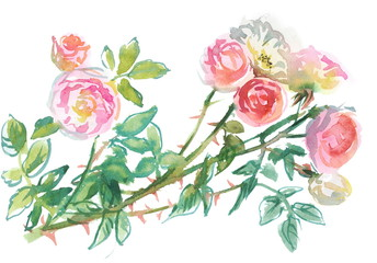 branch of pale pink roses, watercolor sketch, drawing on paper