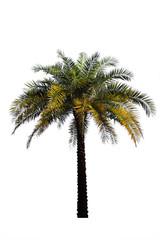 Palm tree isolated on white backgrou