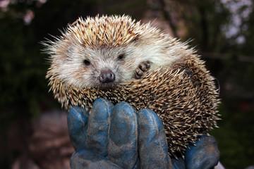 Tamed hedgehog