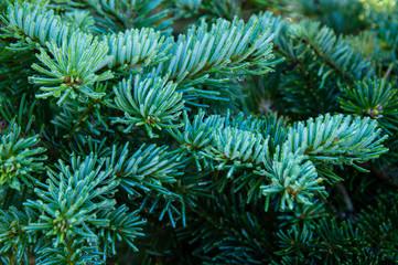 Light blue fir