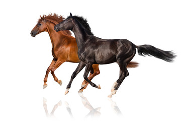 Two horse run gallop isolated on white
