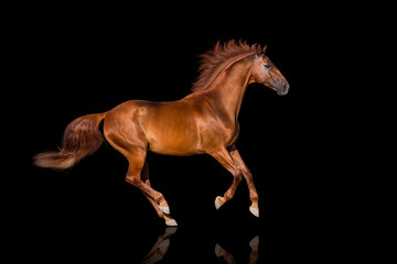Handsome red horse run gallop on black background