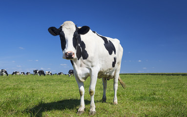 Aluminium Prints Cow cow on green grass with blue sky