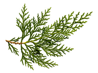 Green arborvitae branch isolated on the white background