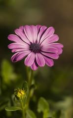 Violet flower blooming