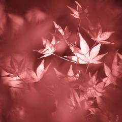 Artistic blurred marsala color autumn season leaves background. Autumn season maple leaves background. Marsala color used.