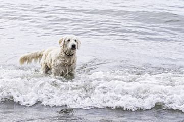 labradoodle dog playing in a wavy lake
