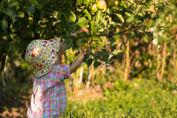 cute girl in sunhat picking fresh apples from the tree in organic garden