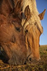 Primo piano di due teste di cavallo che mangiano sul terreno