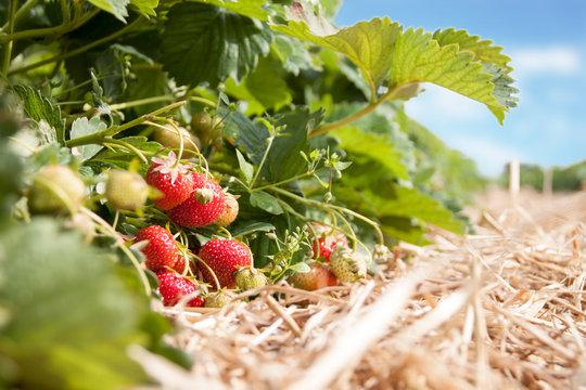 Frische Erdbeeren - Reife Erdbeeren auf einer Erdbeer-Plantage